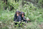 Chester Zoo Chimps